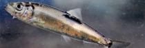 Un poisson qu'on peut acheter : le lieu noir