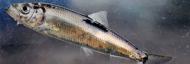 Un poisson de saison : le lieu noir